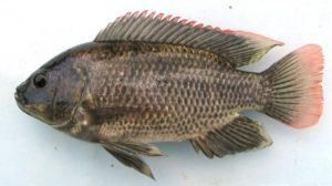 Cara Ternak Ikan Mujair