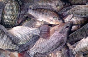 Cara Ternak Ikan Nila Organik