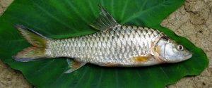 Cara dan umpan mancing ikan mahseer
