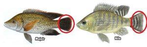 Letak Perbedaan Ikan Nila dan Mujair
