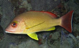 Manfaat dan Khasiat Ikan Beseng-Beseng