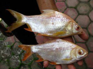 Manfaat dan Khasiat Ikan Kafiat
