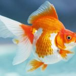Apa Penyebab Ikan Koki Berenang Terbalik?