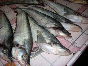 Manfaat dan Khasiat Ikan Lais Timah