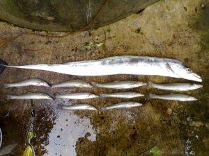 Manfaat dan Khasiat Ikan Layur