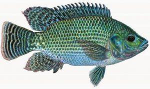Umpan untuk memancing ikan mujair