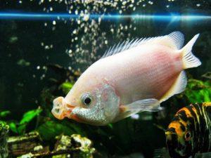 Manfaat dan Khasiat Ikan Tambakan