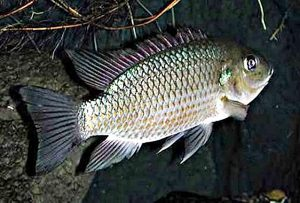 Manfaat dan Khasiat Ikan Air Payau