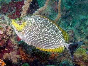 5 Manfaat dan Khasiat Ikan Baronang Angin