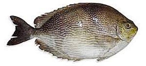 5 Manfaat Ikan Baronang HItam