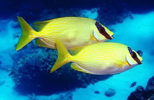5 Manfaat Ikan Baronang Kunyit