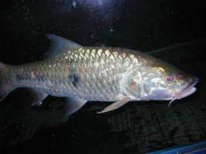 Manfaat dan Khasiat Ikan Cerutu Sirip Putih