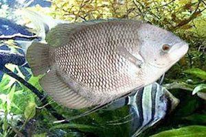 Manfaat dan Khasiat Ikan Gurame Bastar