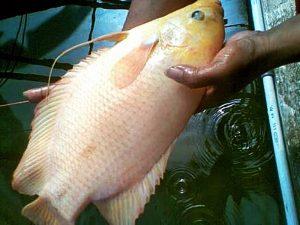 Manfaat dan Khasiat Ikan Gurame Kapas