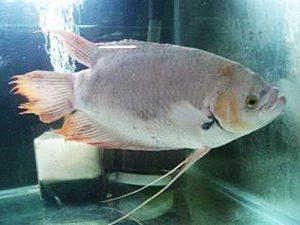 Manfaat dan Khasiat Ikan Gurame Paris