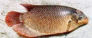 Manfaat dan Khasiat Ikan Gurame Porselen
