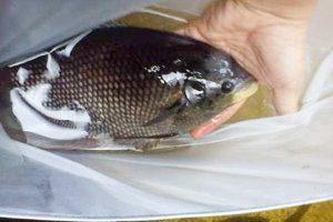 Manfaat dan Khasiat Ikan Gurame Jepun