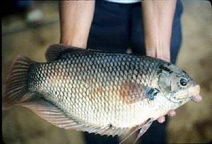 Manfaat dan Khasiat Ikan Gurame Soang