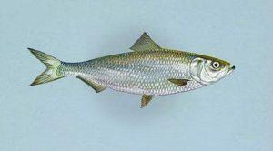 Manfaat dan Khasiat Ikan Haring