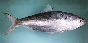 Manfaat dan Khasiat Ikan Hilsa