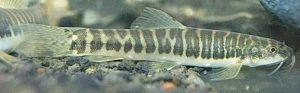 Manfaat dan Khasiat Ikan Jeler