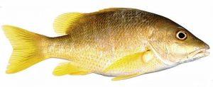 Manfaat dan Khasiat Ikan Kakap Kuning