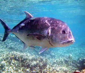 Manfaat dan Khasiat Ikan Kuwe Gerong