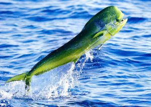 Manfaat dan Khasiat Ikan Kuwe Lemadang