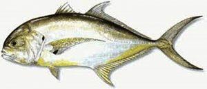 Manfaat dan Khasiat Ikan Kuwe Lilin