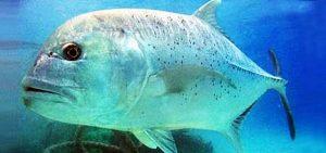 Manfaat dan Khasiat Ikan Kuwe Mata Besar