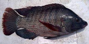 Manfaat dan Khasiat Ikan Nila Hitam