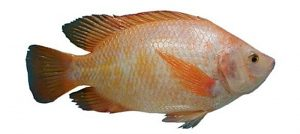 Manfaat dan Khasiat Ikan Nila Merah