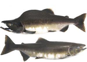 Manfaat dan Khasiat Ikan Salmon Bungkuk