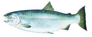 Manfaat dan Khasiat Ikan Salmon Coho