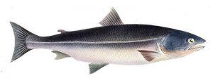 Manfaat dan Khasiat Ikan Salmon Masu