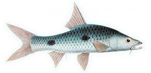 Manfaat dan Khasiat Ikan Sebarau