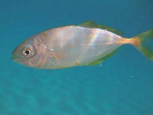 Manfaat Ikan Selar Bulat