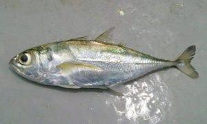 Manfaat dan Khasiat Ikan Selar Jalu-Jalu