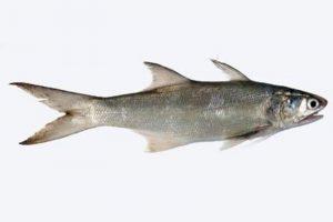 Manfaat dan Khasiat Ikan Senangin
