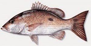 Manfaat dan Khasiat Ikan Sungli Salem