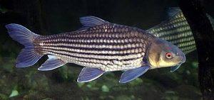 Manfaat dan Khasiat Ikan Temoleh