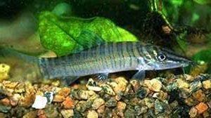Manfaat dan Khasiat Ikan Tiger Botia