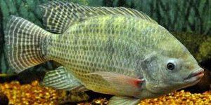 Inilah Cara Membuat Umpan Ikan Nila, Mujarab Sejak Dahulu Kala