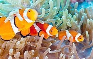 Manfaat dan Khasiat Ikan Badut