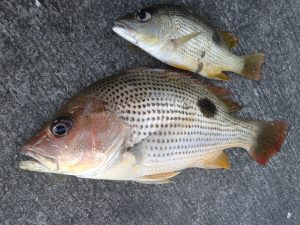 Manfaat dan Khasiat Ikan Tanda Tandap