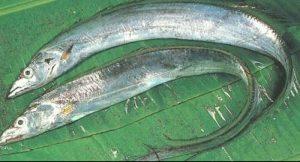 Memancing Ikan Layur