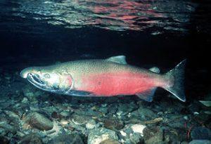 Memancing salmon di Selandia Baru