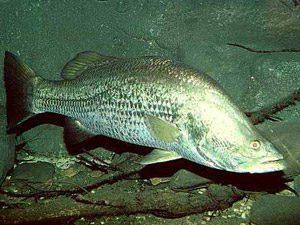 Mengenal Ikan Kakap Putih Lebih Dekat