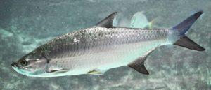 Mengenal Karakter Ikan Tarpon