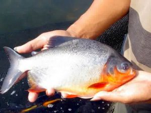 Umpan Ikan Bawal Paling Ampuh